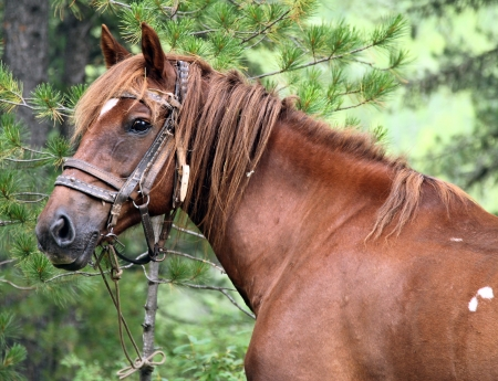 backwoods: The horse in the Altai forest, tied to a tree Stock Photo