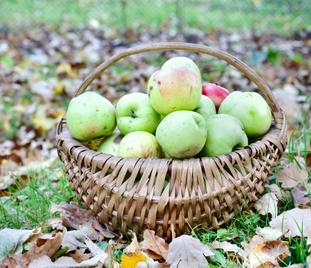 harvest basket: Apples in wicker  basket, collected from the ground in the autumn garden