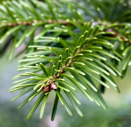 Closeup of fir tree branches in the forest