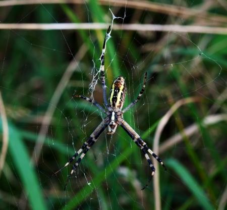 arachnophobia: Closeup of a cross spider in web