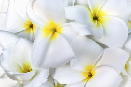 tree jasmine: Branch of tropical flowers frangipani (plumeria) for Spa & aromatherapy concept