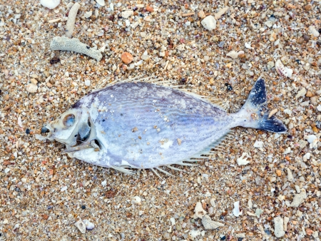 Poissons morts sur le rivage. Catastrophe �cologique photo