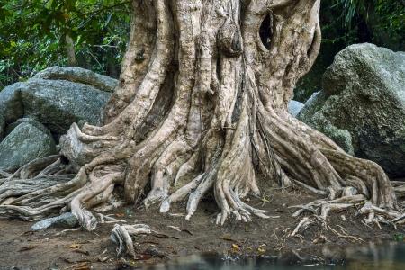 centenarian: Grandes ra�ces de los �rboles y las piedras m�s grandes en el bosque tropical cerca del r�o Foto de archivo