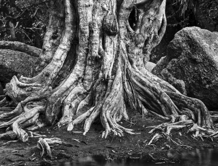 centenarian: Large tree roots and Largest stones in tropical forest near river. Black and white photography Stock Photo