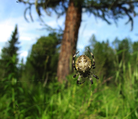 arachnophobia: Big spider on the spiderweb in the woods Stock Photo