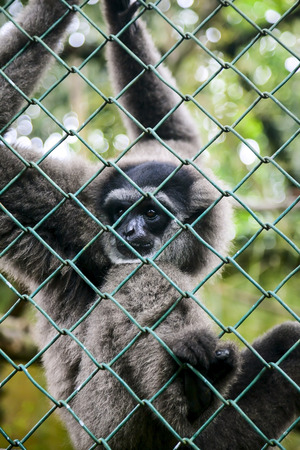 Portrait of sad monkey Gibbon in cage  photo