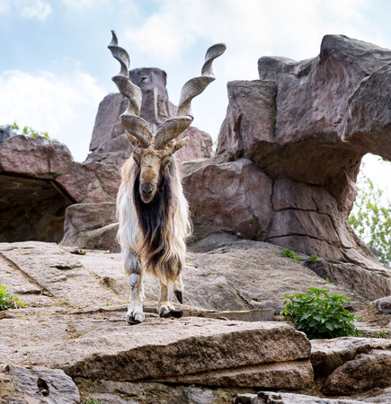 Markhor is  large species of wild goat in the Moscow zoo photo