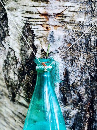 sap: Collecting of birch sap from a tree in spring in plastic bottle Stock Photo
