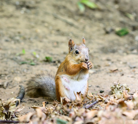 eating area: Squirrel eating nuts in the woods in conservation area