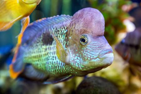 freshwater pearl: Akara turquoise Cichlid (Cichlasoma) fish swimming in the aquarium