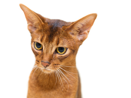 abyssinian cat: Beautiful portrait Abyssinian cat on a white background