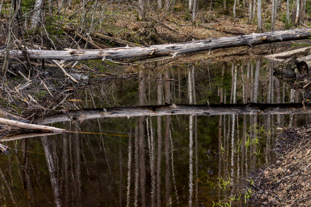 backwater: Beautiful landscape with dry tree, fallen over the backwater near the river in the forest of Karelia Stock Photo