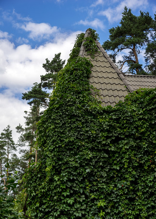 pine trees: Country house overgrown in many green leaves plants and covering metal tile roof against a blue sky with clouds and pine trees