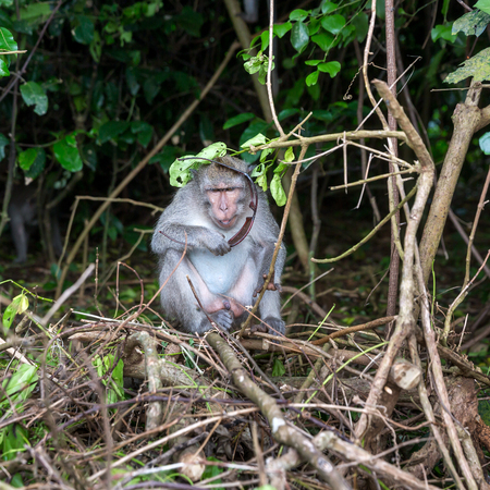 stole: Playful macaque monkey thief stole points from tourist at Uluwatu on Bali island