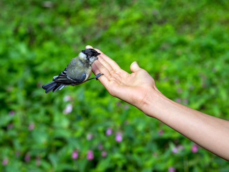 Small titmouse on a hand of a young girl. People feed the bird.