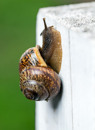 Snail slowly creeping up on white fence