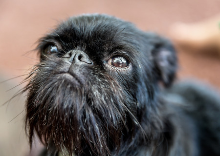 animal nose: Portrait of beautiful pedigree dog puppy Belgian Griffon. Soft focus