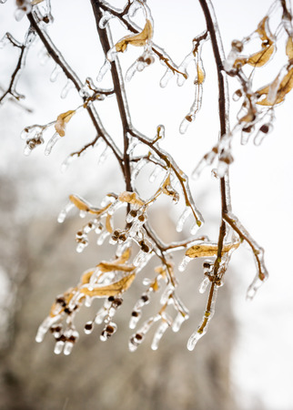 Tree branch with leaves covered with ice. Freezing rain picturesquely frozen tree branches. Arrival of winter Stock Photo