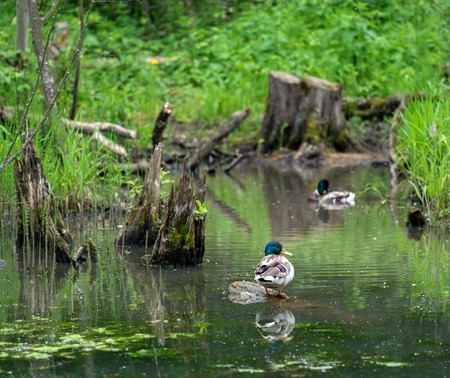 rotting: Wild duck mallard in a forest pond on the background of green grass and rotten stumps Stock Photo