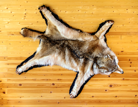 Stuffed wolf is hanging on wooden wall. Scarecrow of a wolf, hunting trophy Stock Photo