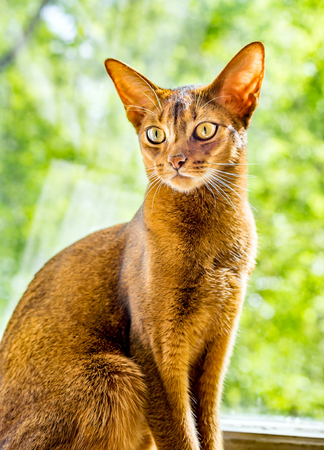 Beautiful portrait of Abyssinian cat sitting on the windowsill on the background of green trees outside the window Banque d'images