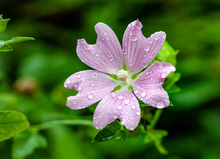 Pink lavatera (mallow) flower. Tender pink blossom with drops after rain. Malva genus close-up