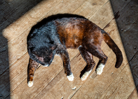 Domestic cat sleeping on wooden floor is basking in sun