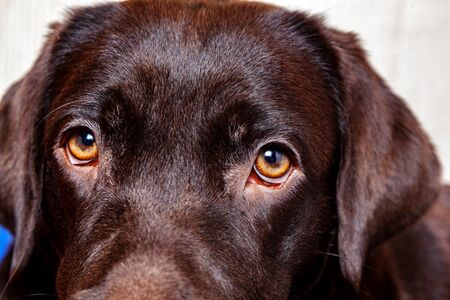 Portrait dog Chocolate Labrador Retriever close up