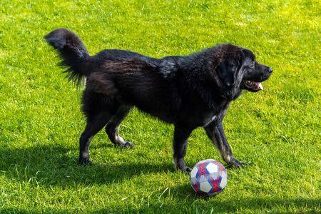 Black newfoundland dog playing with ball on green grass field Archivio Fotografico