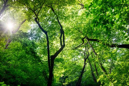 Scenic forest of trees with fresh green leaves. The sun's warm rays break through the foliage
