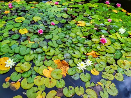 Beautiful water lilies with white and purple flowers in pond, green leaves Standard-Bild