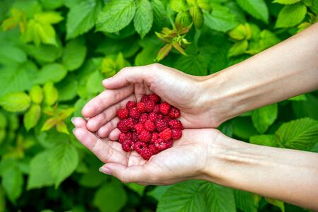 Handful of ripe raspberry filled in female hand on background of green leaves