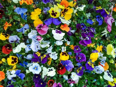 Colorful background from flower pansy close up. Mixed spring flowers on flowerbed Standard-Bild
