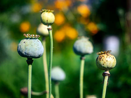 Green poppy boxes with seeds closeup in the garden in sunlight