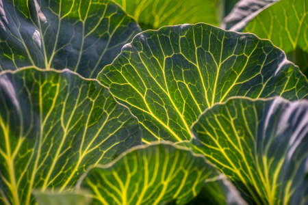 Fresh large green cabbage leaves with veins in the sunlight. Vegetable in garden closeup Standard-Bild