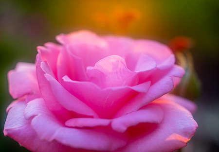 Beautiful pink rose in the garden closeup at sunset Standard-Bild