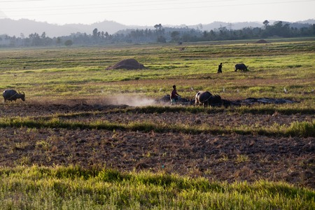 agronomic: Filipino farmer and his buffalo on a way to a rice field next to El Nido, Philippines. Stock Photo