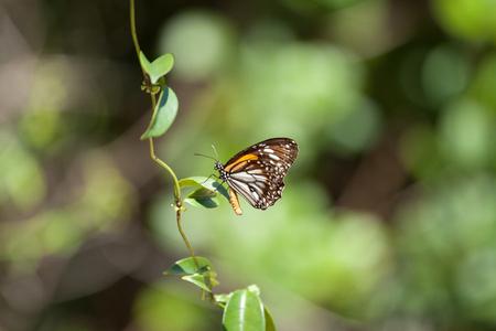 plexippus: Monarch butterfly Danaus plexippus with natural green background Stock Photo
