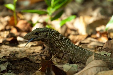 cruel zoo: A lizard, waran dragon Stock Photo