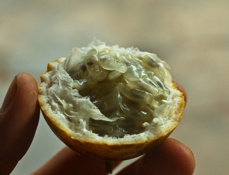 intresting: An open passion fruit held in the hand, Flores Indonesia