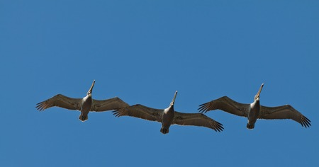 in unison: A row of three Brown Pelicans birds flying in formation, Costa Rica