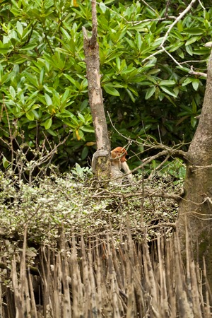 nosed: Long nosed probiscus monkey sitting in a tree, brunei