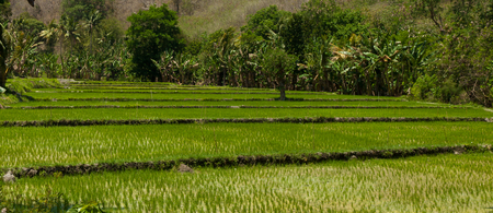 ricefield: The ricefield in Cara with circular forms - Ruteng city in Flores - Indonesia.