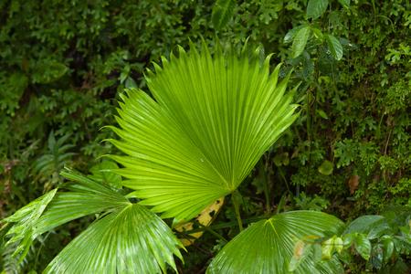 tropical evergreen forest: Poor mans umbrella. Big leaf in Costa Ricas Jungle.