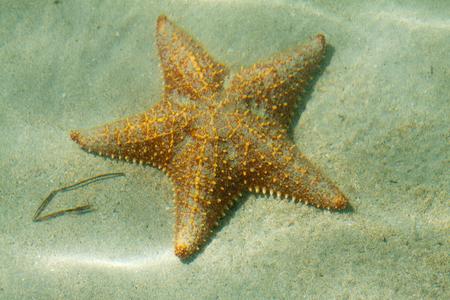 stony coral: Underwater starfish, Oreaster reticulatus, over massive starlet coral in the Caribbean sea