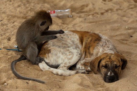 crowd tail: Little longtail macaque, seen on Nusa Lembongan, delouse a dog while he is sleeping Stock Photo
