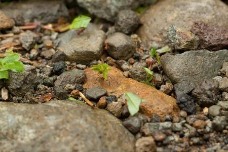 Leaf-cutter Ants at Work on Green Leaf in Costa Rica