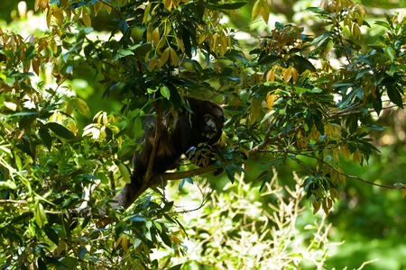 excitation: A Howler monkey sitting in the trees, Costa Rica