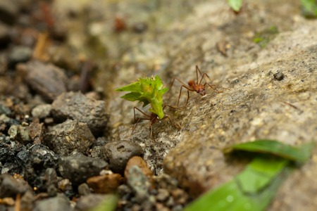 leaf cutter: Leafcutter ants Atta sexdens. Wild life animal. Stock Photo