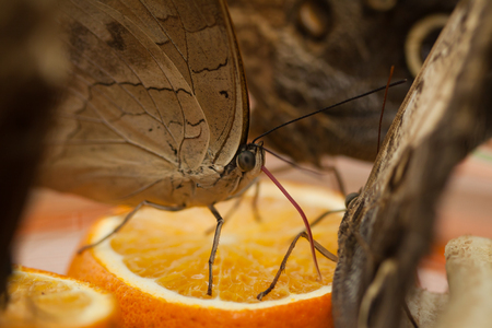 allover: Tropical Butterflies drink the juice from the orange slices.